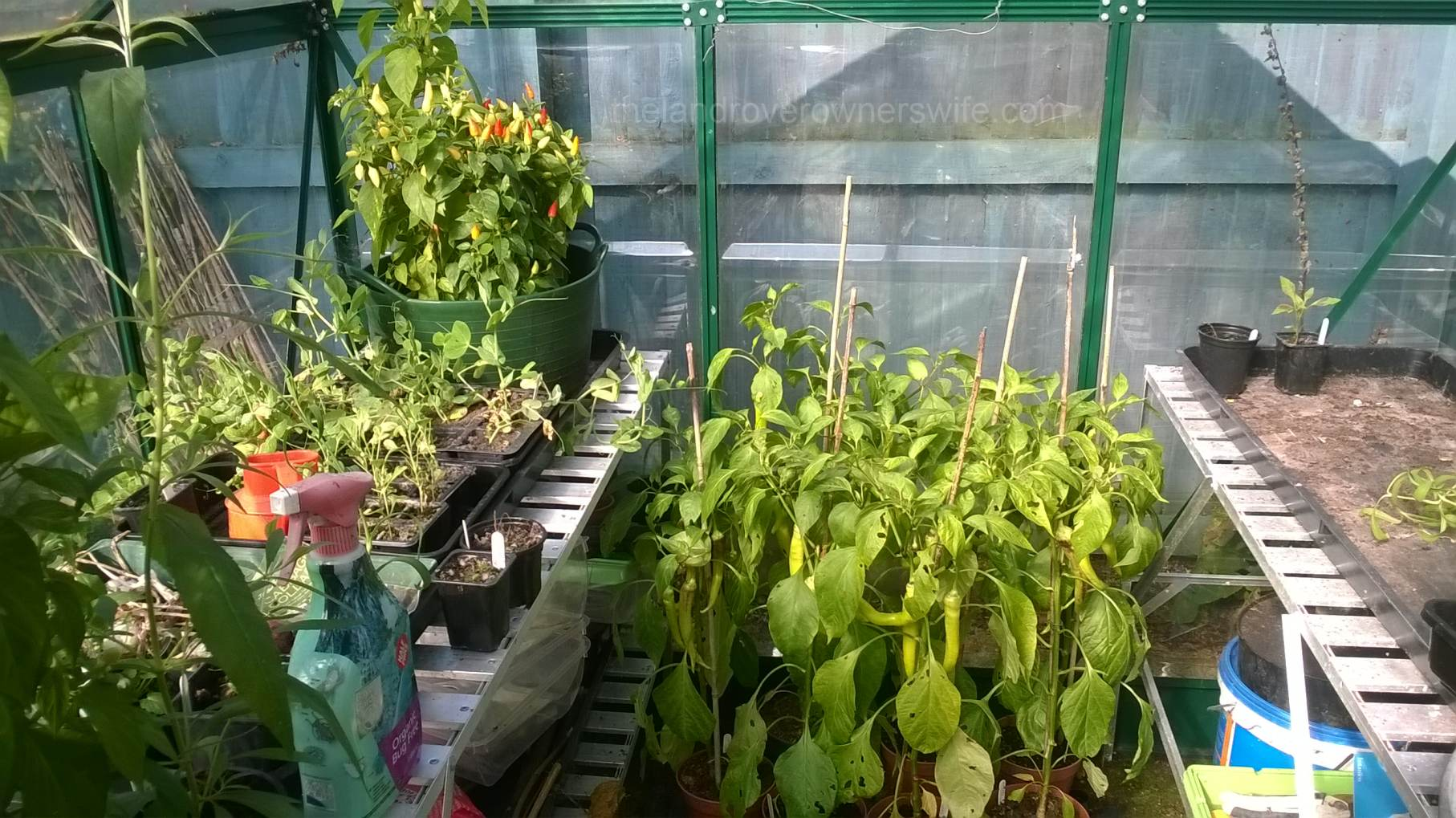chilli plants the land rover owners wife. Black Bedroom Furniture Sets. Home Design Ideas